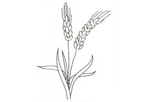 小麦简笔画步骤图 麦子怎么画