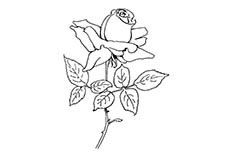 玫瑰花简笔画图片 玫瑰花怎么画