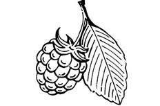 树莓简笔画图片 树莓怎么画