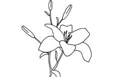 简单的百合花简笔画图片怎么画